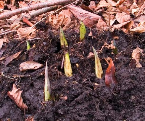 Skunk Cabbage in January