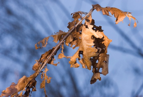 Late Leaves