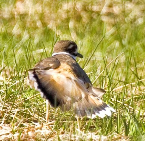 Killdeer Broken Wing Trick
