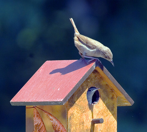 birdhouse plans house wren