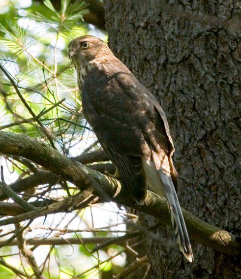 Hawk inTree
