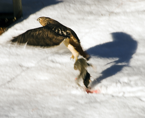 http://frankwinters.files.wordpress.com/2008/01/hawk-with-dinner-2.jpg