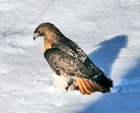 Hawk with Dinner