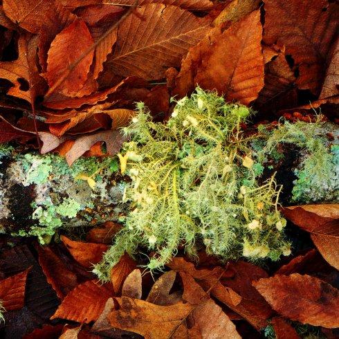 Wolf Moss Lichen